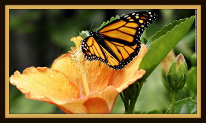 140213114050-01-monarch-butterflies-restricted-horizontal-large-gallery- BUTTERFLY