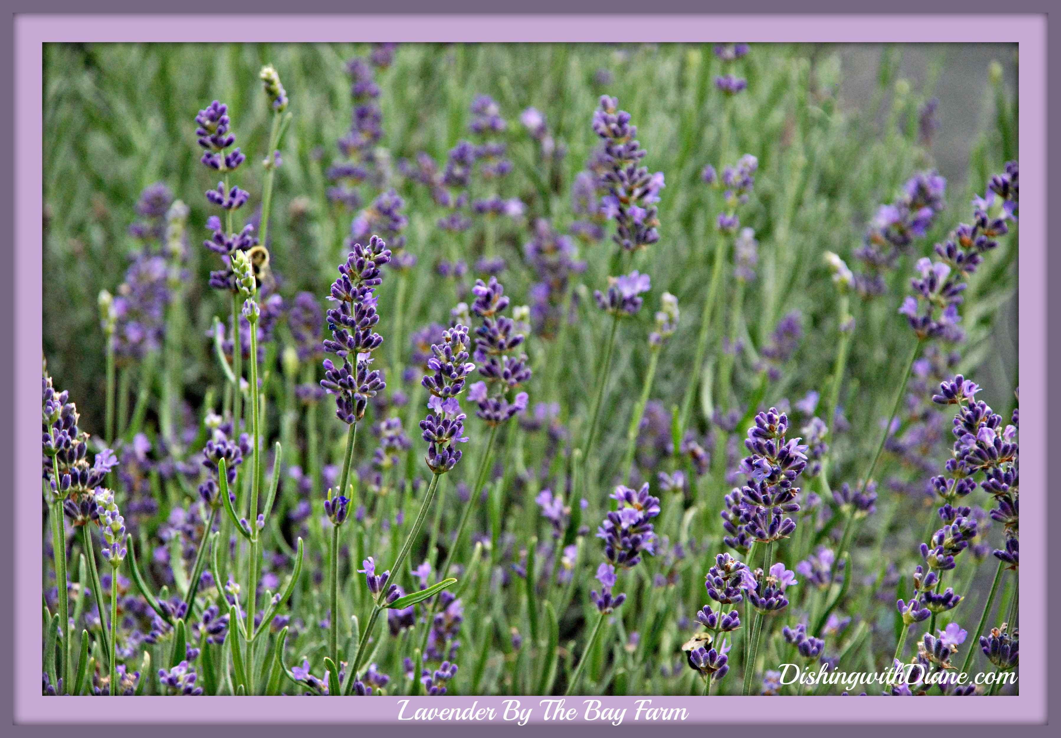 DSC_0700- LAVENDER FOR BLOG