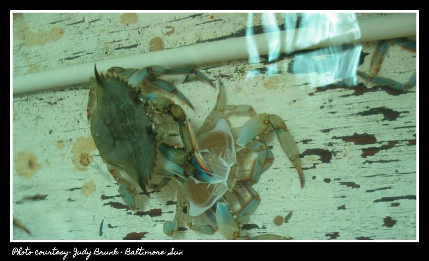 bal-bs-disc-1-023-20130605-- soft shell crab shedding shell photo judy brunk